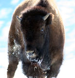 Buffalo. Baby buffalo in the winter Royalty Free Stock Images