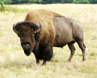 Buffalo. A buffalo stands in a meadow on a warm summer day royalty free stock image