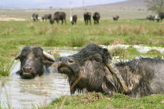 Buffalo Stock Images