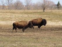 Buffalo immagine stock libera da diritti