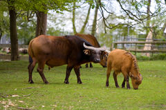 Buffalo. Picture of brown buffalo on a green grass Stock Photo