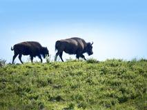 Buffalo above Jackson Hole in Wyoming Royalty Free Stock Images