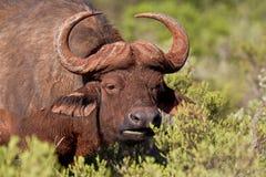 Buffalo affamata Fotografie Stock
