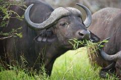 Buffalo africain Photo stock