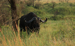 Buffalo africain Photo libre de droits