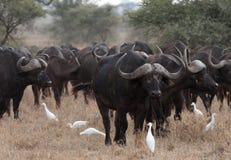 Buffalo africain Photos libres de droits