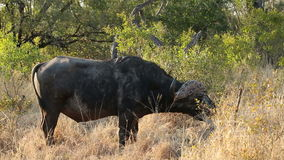 Buffalo africain Bull Photo stock