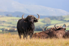 Buffalo africain Bull Image stock
