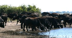 Buffalo africain de cap, faune de safari de rivière de Chobe, Botswana banque de vidéos