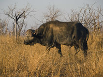 Buffalo in African savannah Stock Photo