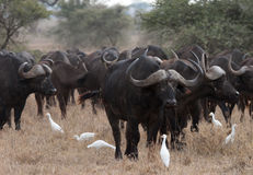 Buffalo africana Fotografie Stock Libere da Diritti