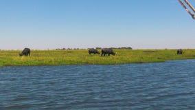 Buffalo africana che si alimenta erba al fiume nel Botswana video d archivio