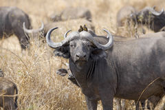 Buffalo africana selvaggia Immagini Stock Libere da Diritti