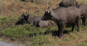 Buffalo africana, syncerus caffer, adulto avendo bagno di fango, parco di Nairobi nel Kenya, tempo reale stock footage