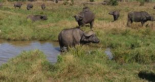 Buffalo africana, syncerus caffer, gregge a Waterhole, parco di Nairobi nel Kenya, tempo reale video d archivio
