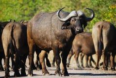 Buffalo africane (caffer di Syncerus) Fotografie Stock