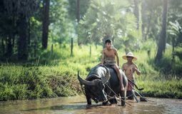 Buffalo, Agriculture, Asia Royalty Free Stock Photography