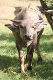 Buffalo, agriculture, ferme, riz, agriculteurs thaïlandais, alatus de Dipterocarpus Images libres de droits