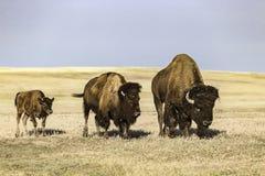 Buffalo al parco nazionale dei calanchi Immagini Stock Libere da Diritti