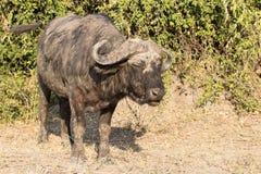 Buffalo al sole Immagini Stock