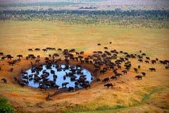 Buffalo alla fonte Immagine Stock