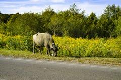 Buffalo along the road there is grass. Abkhazia October 2018 royalty free stock photos
