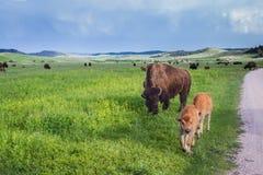 Buffalo américain Image libre de droits