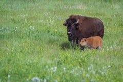 Buffalo américain Image stock