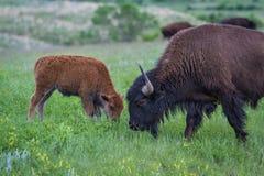 Buffalo américain Photographie stock