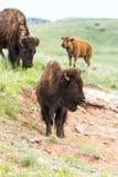 Buffalo américain Photographie stock libre de droits