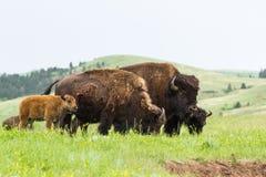 Buffalo américain Images libres de droits