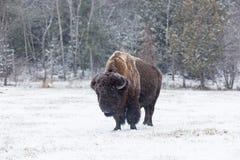 Buffalo américain de champ photographie stock