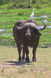 Buffalo at amboseli national park, kenya Stock Photography