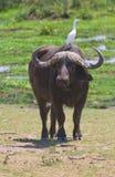 Buffalo at amboseli national park, kenya stock photography
