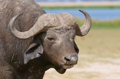 Buffalo at amboseli national park, kenya Royalty Free Stock Image