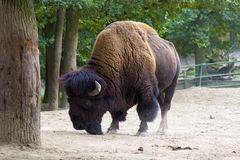 Buffalo or American Bison royalty free stock images