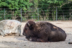 Buffalo. American Bison walking around in the sand stock images