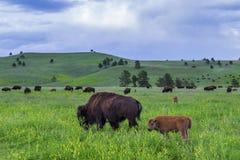 Buffalo americana immagine stock libera da diritti