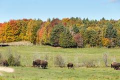 Buffalo americana del campo in un campo nella caduta Fotografie Stock Libere da Diritti