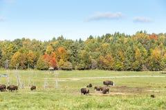 Buffalo americana del campo in un campo nella caduta Fotografia Stock Libera da Diritti