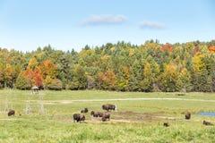 Buffalo americana del campo in un campo nella caduta Immagini Stock