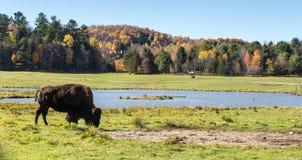 Buffalo americana del campo in un campo nella caduta Fotografie Stock