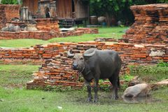 Buffalo in Ancient City Royalty Free Stock Image