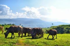 Buffalo. Animals Royalty Free Stock Photo