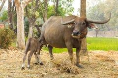 Buffalo Are Breastfeeding Thailand . Royalty Free Stock Photography
