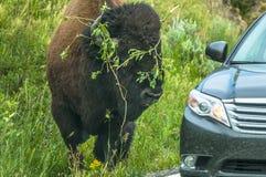 Buffalo arrabbiata Immagine Stock Libera da Diritti