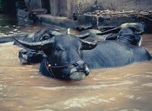 Buffalo Asia Stock Photography