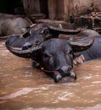 Buffalo Asia Stock Image