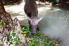 Buffalo in asia. Water buffalo in a forest in asia. Cambodia Royalty Free Stock Photography