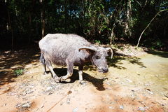 Buffalo in asia. Water buffalo in a forest in asia. Cambodia Royalty Free Stock Images